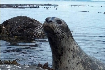 #Animalwelfare groups demand: take action now to stop 'corkscrew' #slaughter of #seals #Scotland   Rescue our Ocean's & it's species from Man's Pollution!   Scoop.it