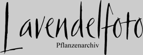 (LA)-(DE)-(FR)-(EN) – Pflanzenarchiv: Index der Pflanzennamen | Lavendelfoto | Glossarissimo! | Scoop.it