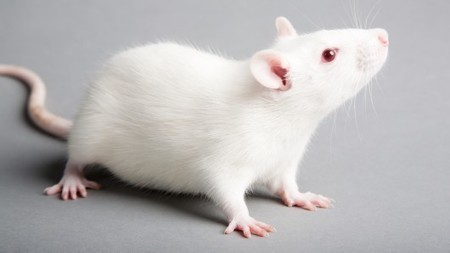 Scientists regenerate rat muscle tissue, with an eye toward human applications | nutrition | Scoop.it
