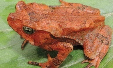 New species of toad discovered in Amazon rainforest | Rainforest EXPLORER:  News & Notes | Scoop.it