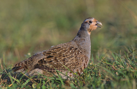 The Historic Decline of the Grey Partridge (Perdix perdix) - Conservation Articles & Blogs - CJ | Wildlife and Conservation | Scoop.it