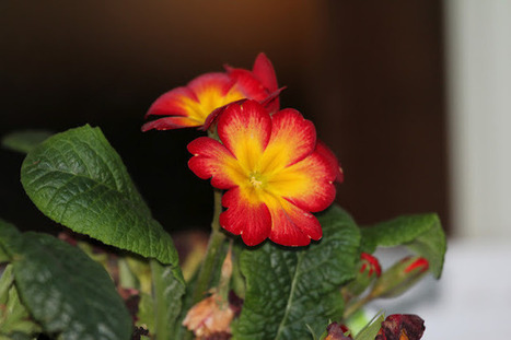 gardening in western washington: Gardeners Bloom Day! | Rose gardening for everyone | Scoop.it