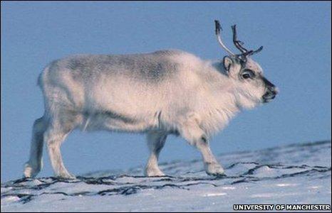BBC News - Reindeer body clock switched off | Inuit Nunangat Stories | Scoop.it