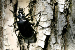 ROTHAMSTED MENTION: Ground beetles – Carabids declining! | BIOSCIENCE NEWS | Scoop.it