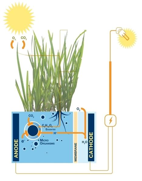 Raíces vegetales y bacterias: una inesperada fuente de electricidad | Ingeniería Biomédica | Scoop.it