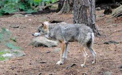 Environmentalists pledge to stop Swedish wolf hunt | Sustain Our Earth | Scoop.it