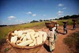 Plaidoyer pour un mode de culture plus durable du maïs, du riz et du blé - FAO | Chimie verte et agroécologie | Scoop.it
