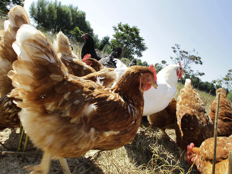 The FDA Doesn't Want Chickens To Explore The Great Outdoors : NPR | www.cornucopia.org | Scoop.it