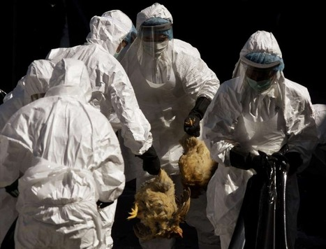 Deadly H5N1 bird flu needs just 5 mutations to spread easily among people | Amazing Science | Scoop.it