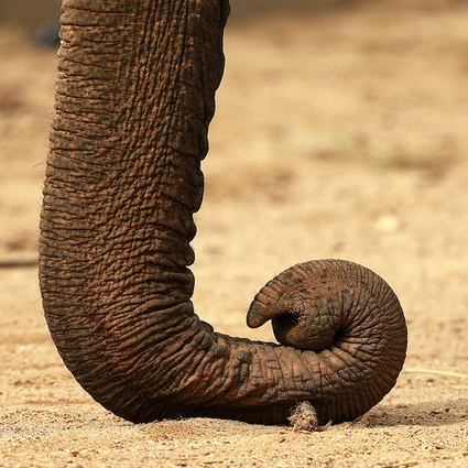 Elephant Facts You'll Never Forget… | Uganda Safaris and Tours ... | Animals R Us | Scoop.it