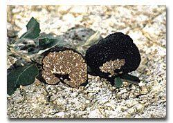Principal truffle varieties in France   Travel in france   Scoop.it