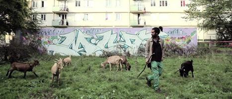 Un berger fait pâturer ses chèvres au cœur d'un quartier du 93 | ville et jardin | Scoop.it