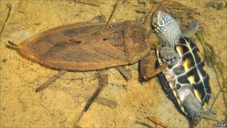 Inilah Serangga Pemakan Kura-kura dan Ular - Marlique | Bizarre | Scoop.it