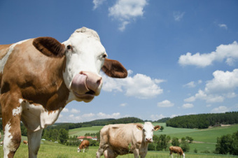 Upping the steaks: How grass-fed beef is reshaping ag and helping the planet   Our Food and Drug Industry   Scoop.it