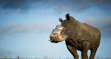 Hope is gone: brave super-rhino dies - Africa Geographic | What's Happening to Africa's Rhino? | Scoop.it