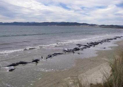 Stranded whales to be euthanised in New Zealand | Sustain Our Earth | Scoop.it
