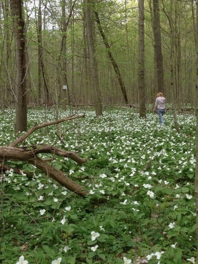 The trillium is in full bloom at Dowagiac Woods Nature Sanctuary! This beautiful photo was captured by Judy Kepler at the sanctuary this past weekend | Northern Michigan Delights | Scoop.it