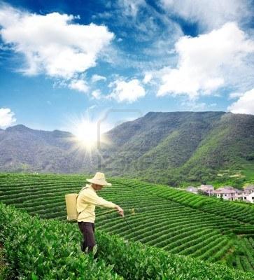 CHINE - Des pesticides en infusion - Courrier International | Abeilles, intoxications et informations | Scoop.it