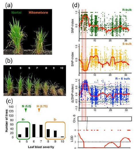 QTL-seq: Rapid mapping of quantitative trait loci in rice by whole genome resequencing of DNA from two bulked populations - The Plant Journal | Rice Blast | Scoop.it