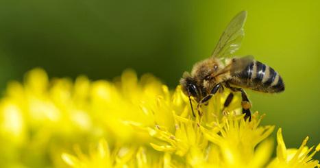 Implanter le cerveau d'une abeille dans un robot ?   Actualités robots et humanoïdes   Scoop.it