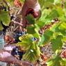 Vendemmia 2013: gli enologi sono ottimisti - Blogosfere (Blog) | Sandro de Bruno: notizie dal mondo del vino | Scoop.it