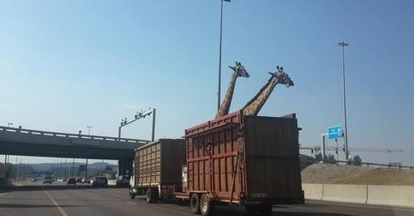 Giraffe Dies After Hitting Its Head on Highway Bridge | Animal Management | Scoop.it