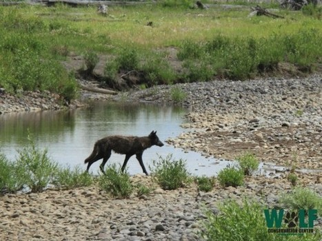Wolf Conservation Center: Manipulating the Numbers in Montana Wolf Policies | GarryRogers Biosphere News | Scoop.it
