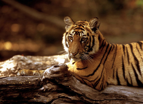 States Strive for Balance Between Tiger Conservation and Tourism   Tiger Conservation   Scoop.it