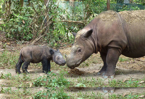 Protect the Critically Endangered Sumatran Rhino   Wildlife and Environmental Campaigning   Scoop.it