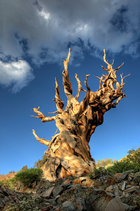 Ancient Bristlecone Pine Tree | Methuselah, the world's oldest known living non-clonal organism | Harmony Nature | Scoop.it
