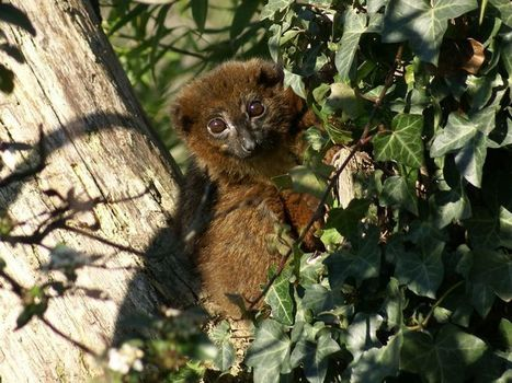 Photos de lémuriens : Lémur à ventre roux - Maki à ventre roux - Eulemur rubriventer - Red-bellied lemur | Fauna Free Pics - Public Domain - Photos gratuites d'animaux | Scoop.it