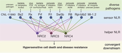 bioRxiv: NLR signaling network mediates immunity to diverse plant pathogens (2016) | Cereal and Biotrophic Pathogens | Scoop.it