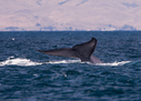 Blue Whales Surprisingly Nimble   All about water, the oceans, environmental issues   Scoop.it
