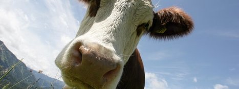 Kampf gegen Preisverfall: 10.000 Milchbetriebe wollen Produktion kürzen - SPIEGEL ONLINE | Agrarforschung | Scoop.it