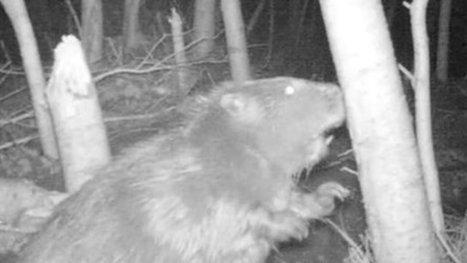 Wild beaver caught on film in Devon | The living world | Scoop.it