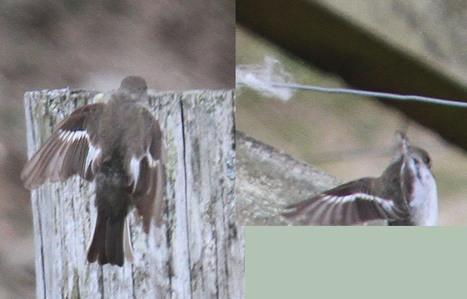 The Fair Isle Collared Flycatcher   Bird ID   Scoop.it