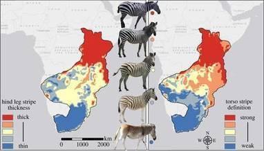 Les rayures des zèbres réguleraient leur température corporelle | Chose | Scoop.it