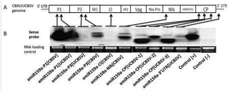 J Virol Methods: Artificial microRNA-derived resistance to Cassava brown streak disease | Plant pathology | Scoop.it