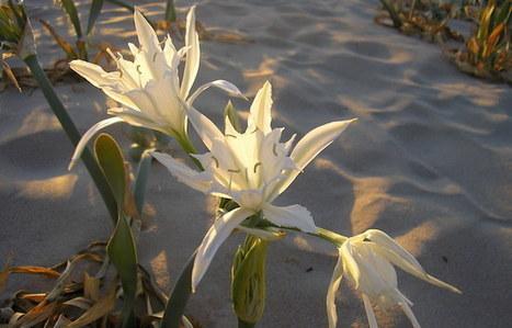 Λουλούδια της παραλίας | Γεωπονικά | Scoop.it