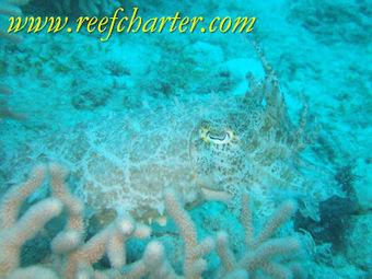 Cuttlefish – Species of the Reef | Great Barrier Reef | Cairns, Australia | Australian animals | Scoop.it