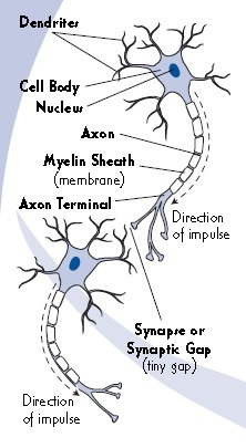 What are Neurons? | Anatomy | Scoop.it