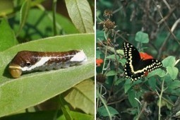 In the Field » The Butterfly Effect: The impact of an invasive disease ... | Forest health | Scoop.it