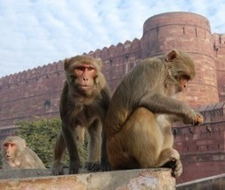 Can You Predict a Monkey's Social Status by Looking at Its Genes? | Psychology and Brain News | Scoop.it