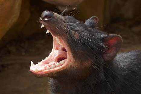 Superfast evolution could save Tasmanian devils from extinction | World Environment Nature News | Scoop.it