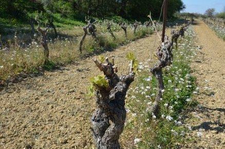 Le gel s'est abattu sur les premiers bourgeons du vignoble de Fleury d'Aude | Le Vin et + encore | Scoop.it