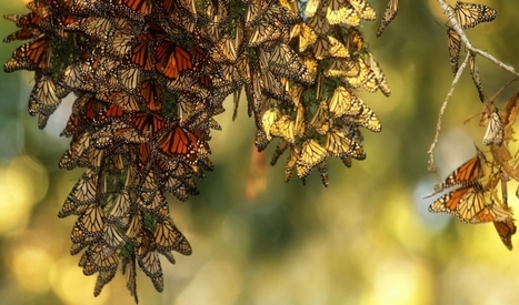 'The situation is desperate' for monarch butterflies, but here's the plan to save them | Sustain Our Earth | Scoop.it