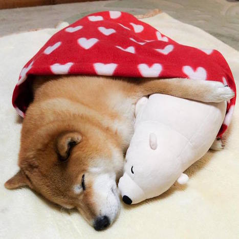 Lovable Shiba Inu Always Falls Asleep in Same Position as His Look-Alike Stuffed Animal | Le It e Amo ✪ | Scoop.it