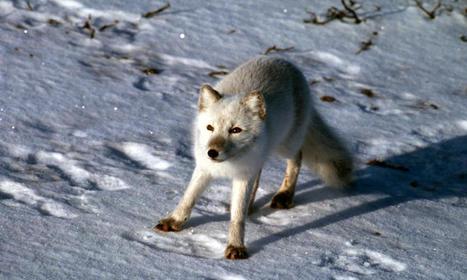 Arctic Fox | Species | WWF | Arctic wildlife conservation | Scoop.it