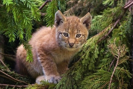 Rewilding: Lynx and Livestock in the UK. - Conservation Articles & Blogs - CJ   Wildlife and Conservation   Scoop.it