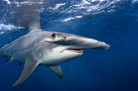 #Hammerhead #Shark Management Should Reflect Unique #Evolutionary Traits, Scientists Say. | Rescue our Ocean's & it's species from Man's Pollution! | Scoop.it